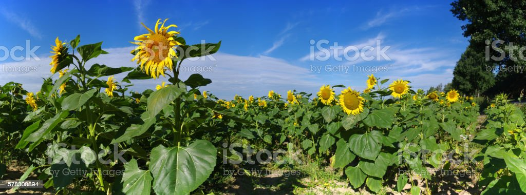 sunflowers field in summer stock photo