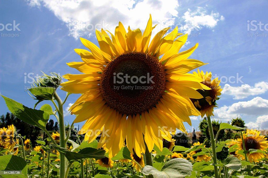 Sunflowers Field - Landscape stock photo