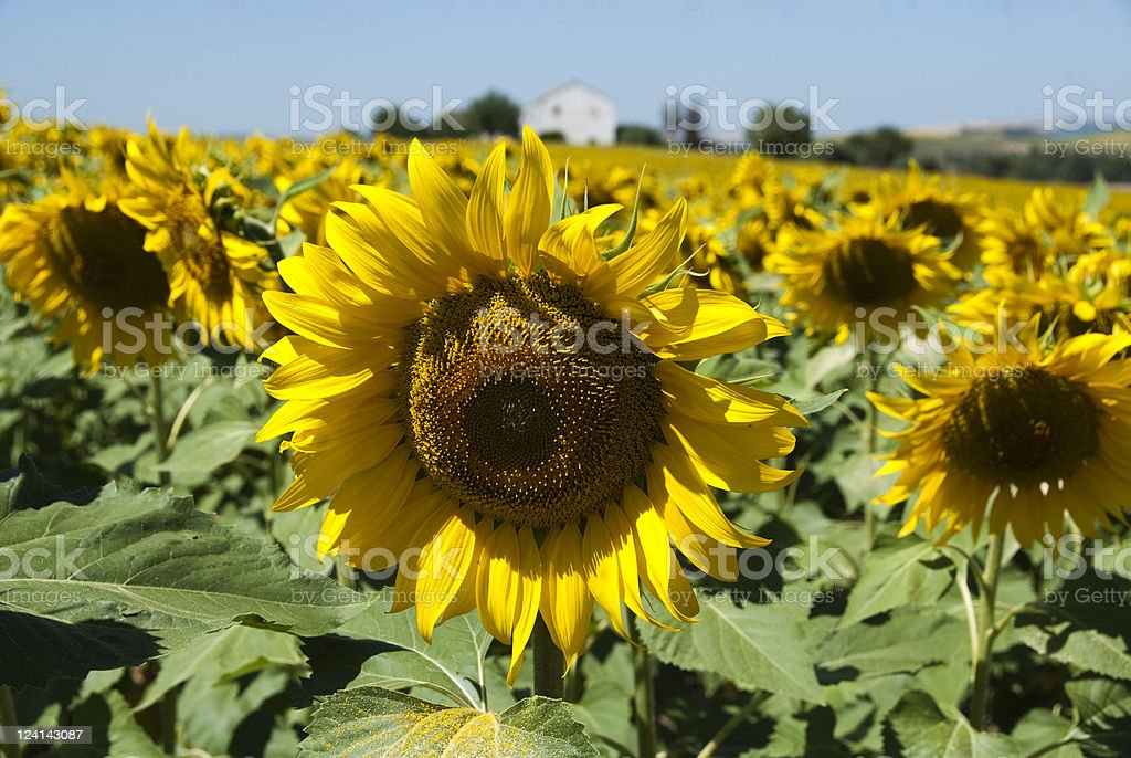 Sunflowers' field royalty-free stock photo