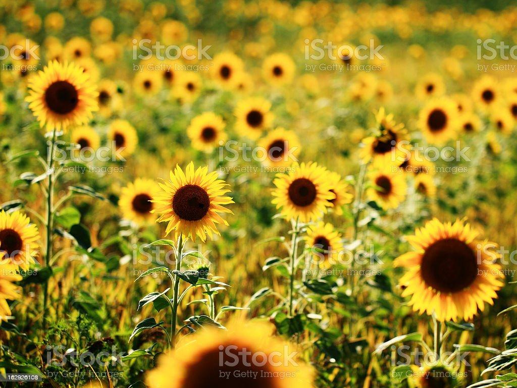 Sunflowers field royalty-free stock photo