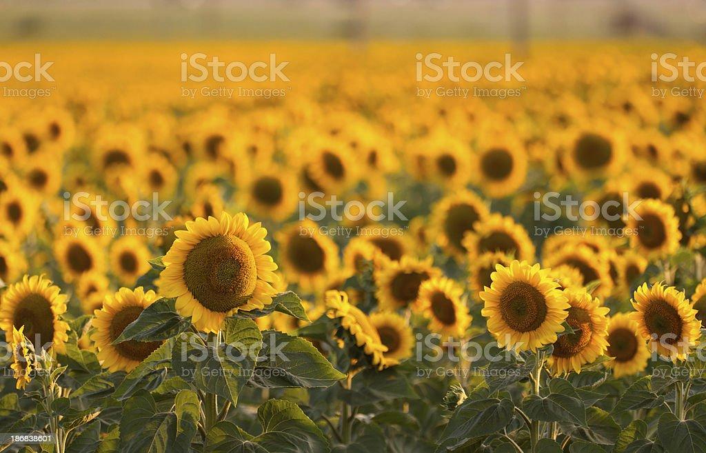 Sunflower's Field stock photo