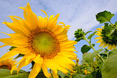 Sunflowers field with lighting flare effect.