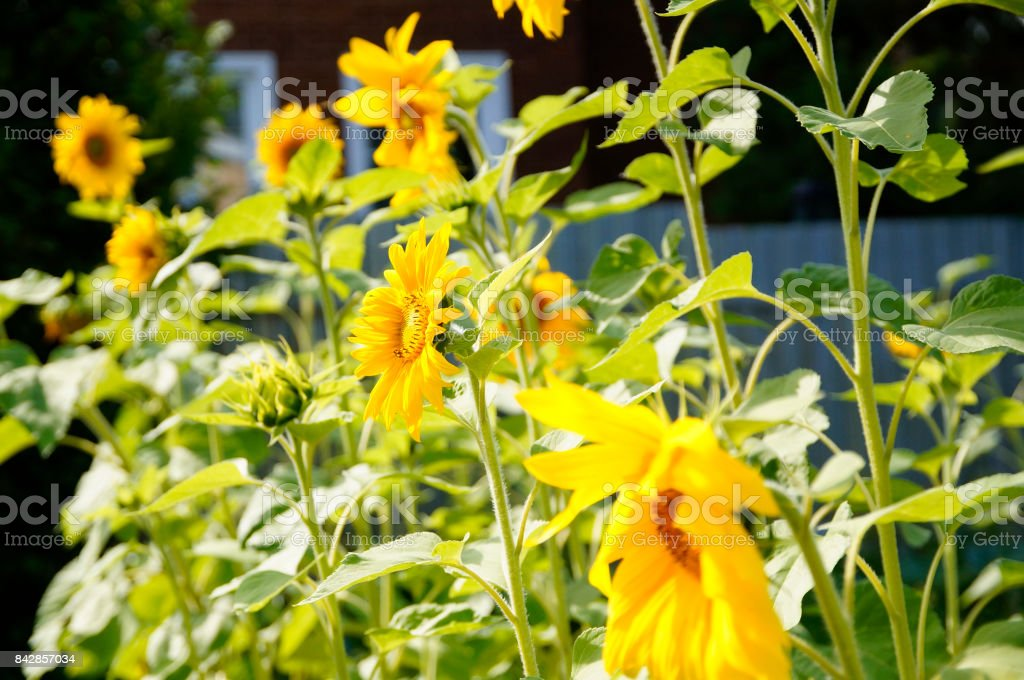sunflowers grow in the garden, summer cottages stock photo