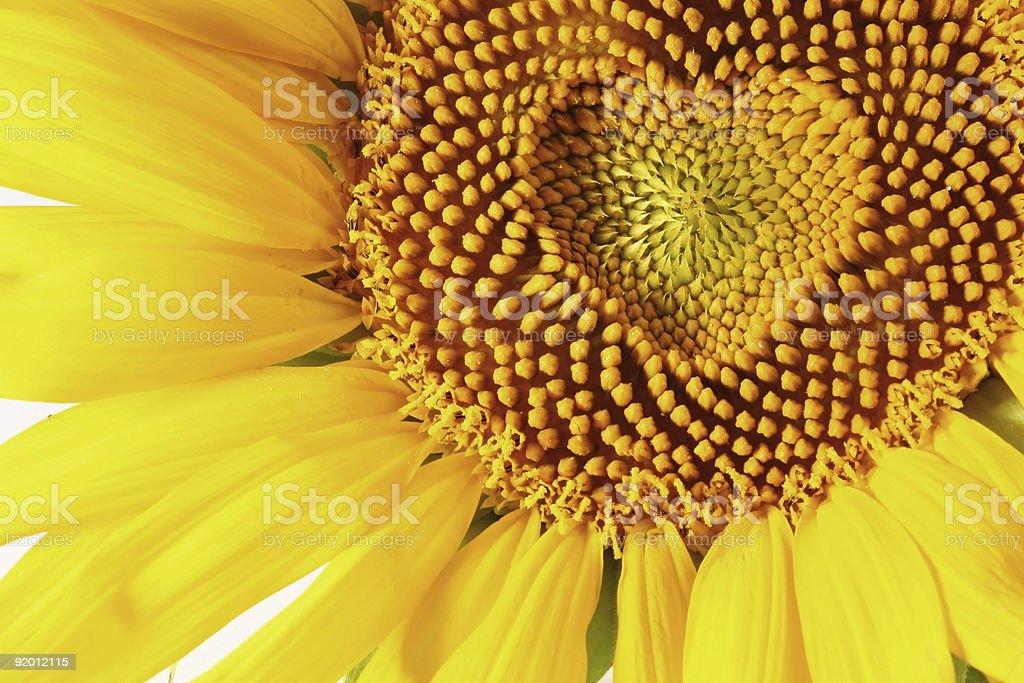 sunflowers heart stock photo