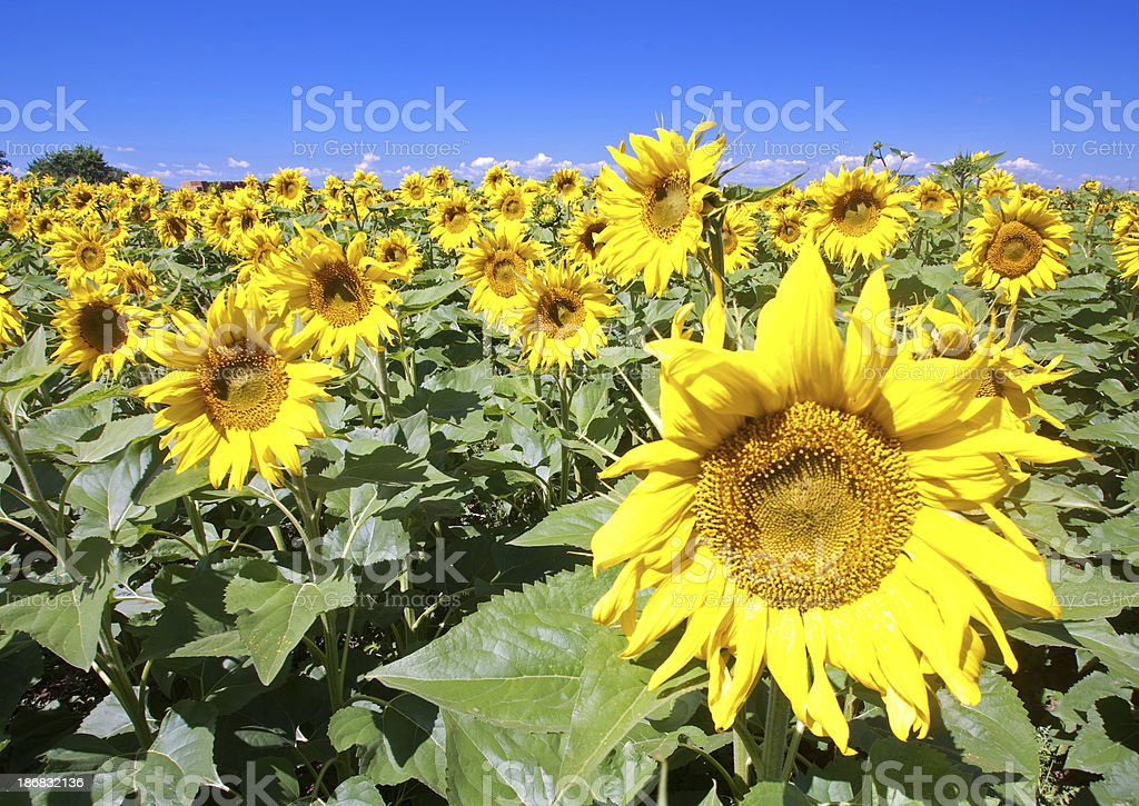 Sunflowers in a field royalty-free stock photo