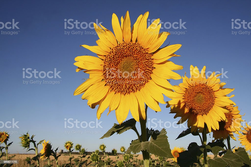 Sunflowers in a Row royalty-free stock photo
