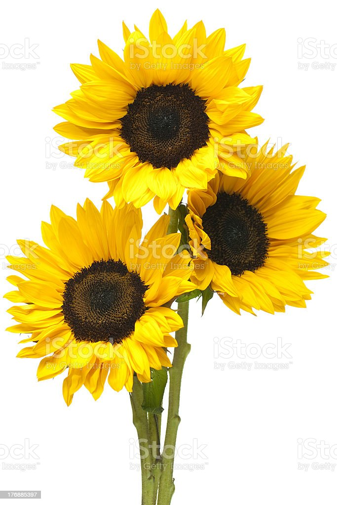 Sunflowers in Bundle Isolated on White royalty-free stock photo
