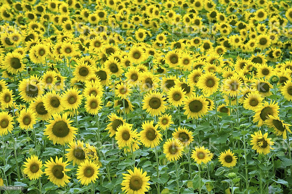 Sunflowers in Burgundy (France) royalty-free stock photo