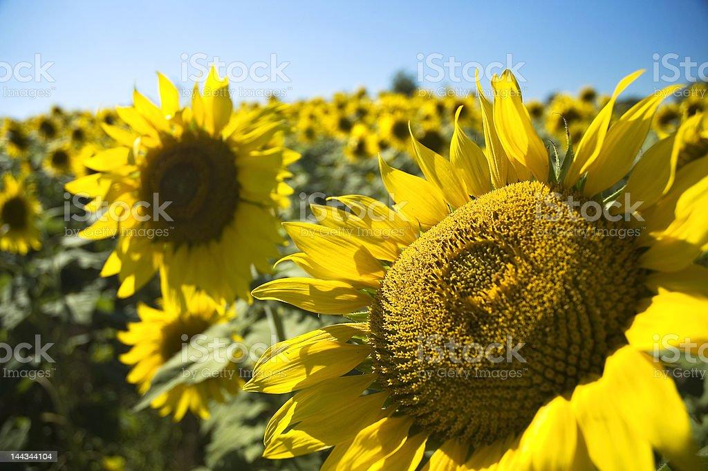 Sunflowers in Kansas royalty-free stock photo