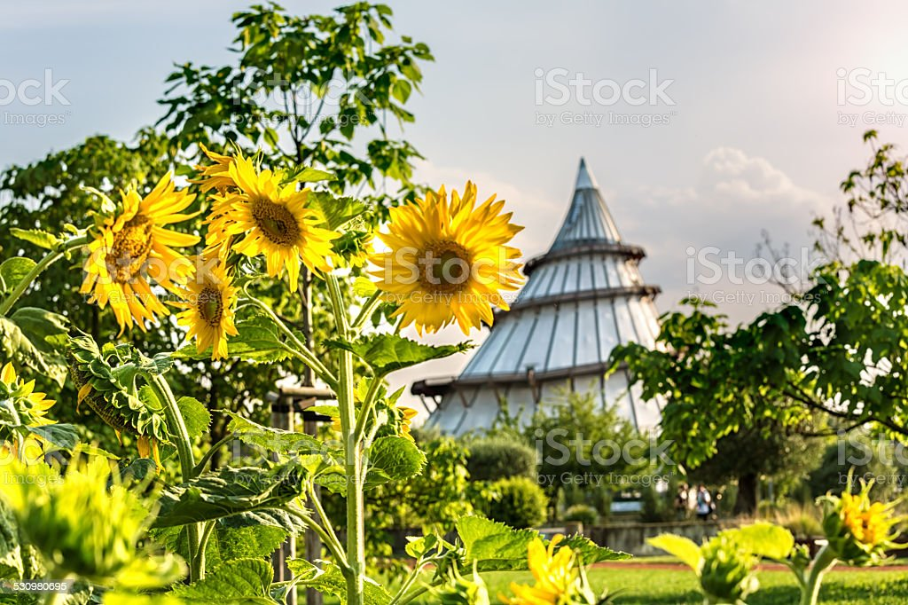 Sunflowers in Magdeburg stock photo