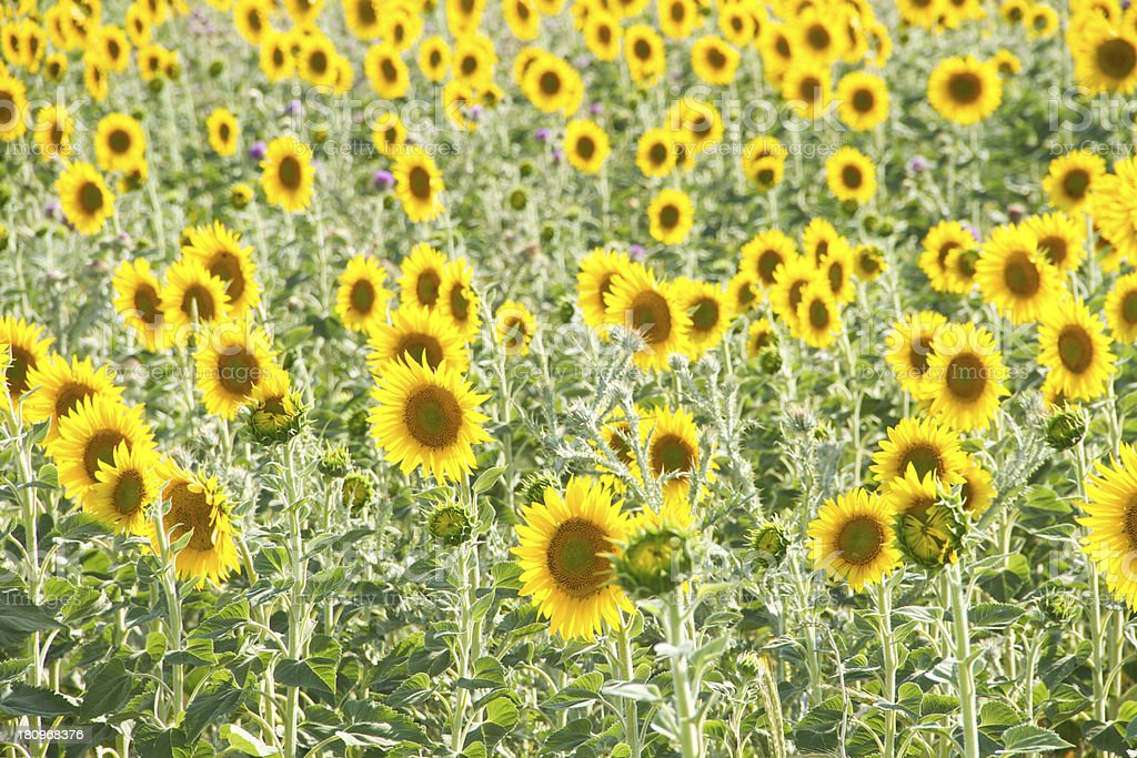 sunflowers in nature royalty-free stock photo