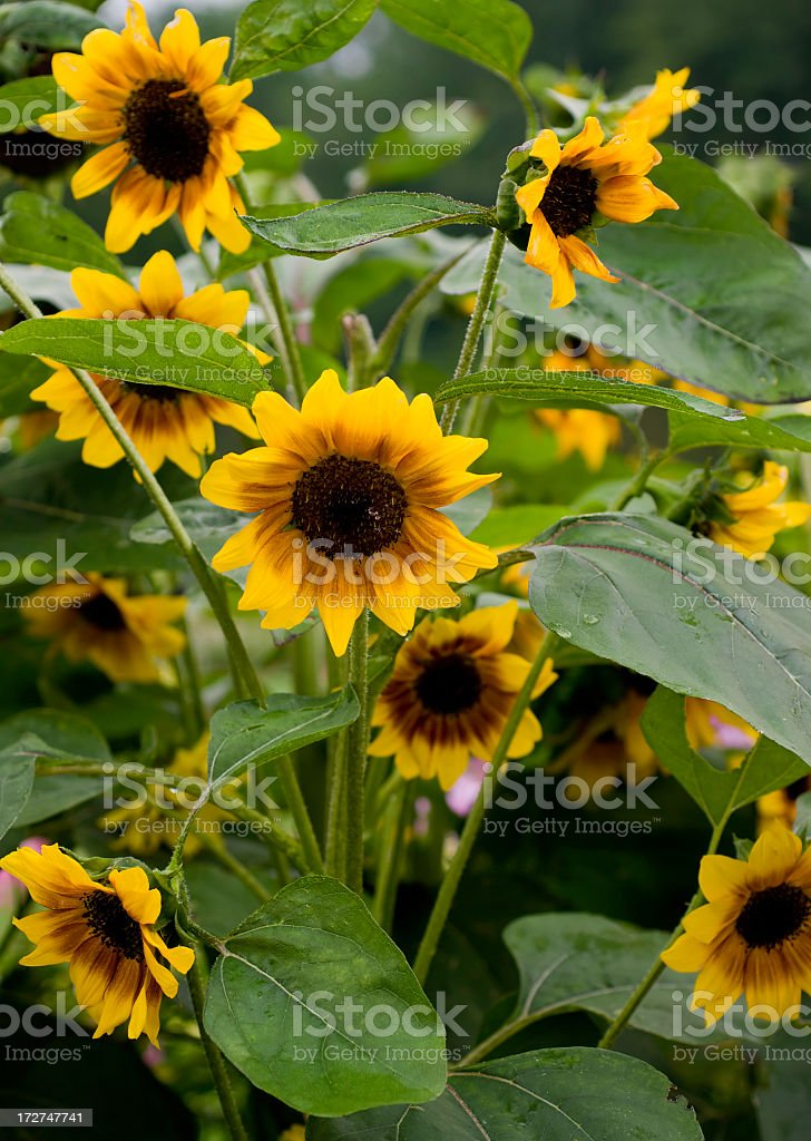 Sunflowers in Rain stock photo