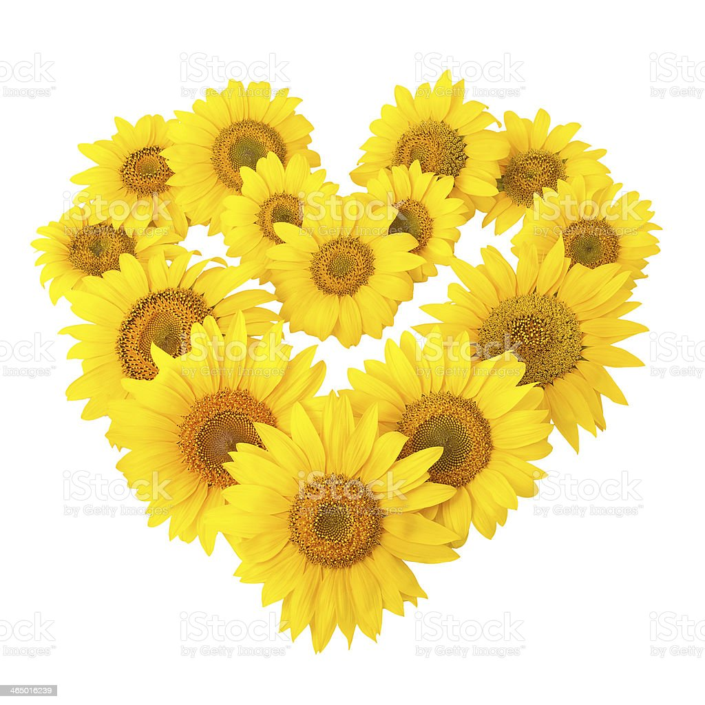 sunflowers in shape of heart isolated on white stock photo