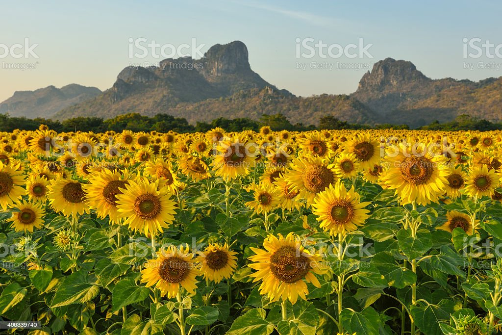 Sunflowers in the Field stock photo