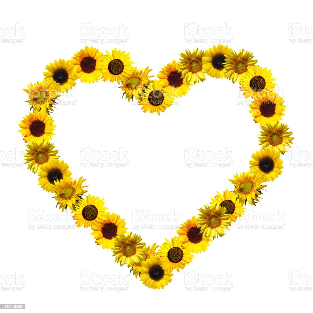 Sunflowers in the form of heart on a white background. stock photo