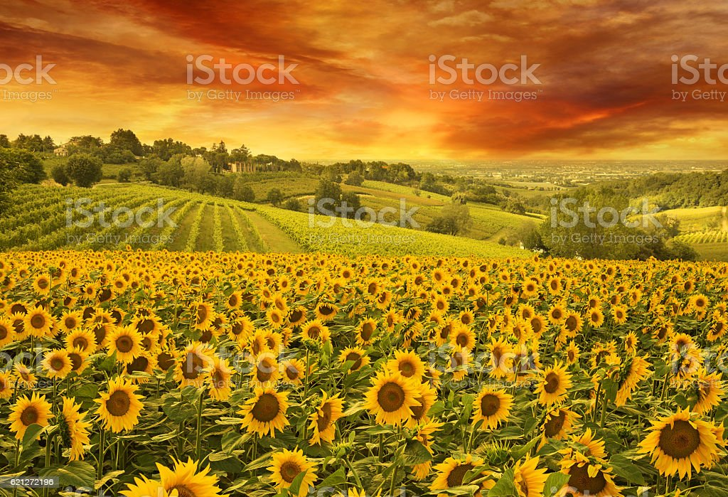 sunflowers in the italian hill at sunset stock photo