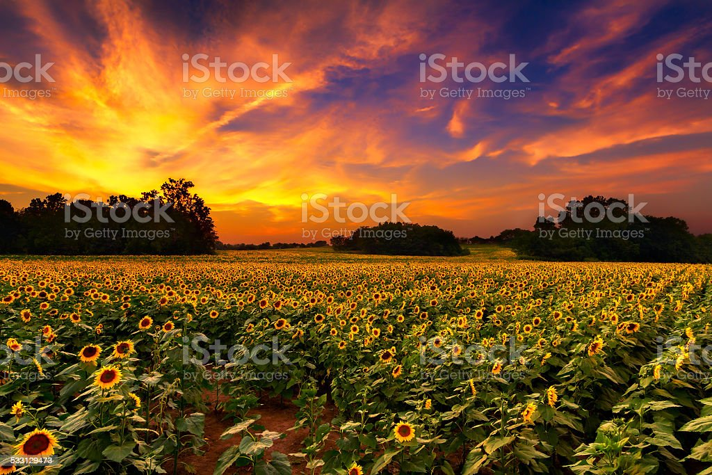 Sunflowers in the Sunset stock photo