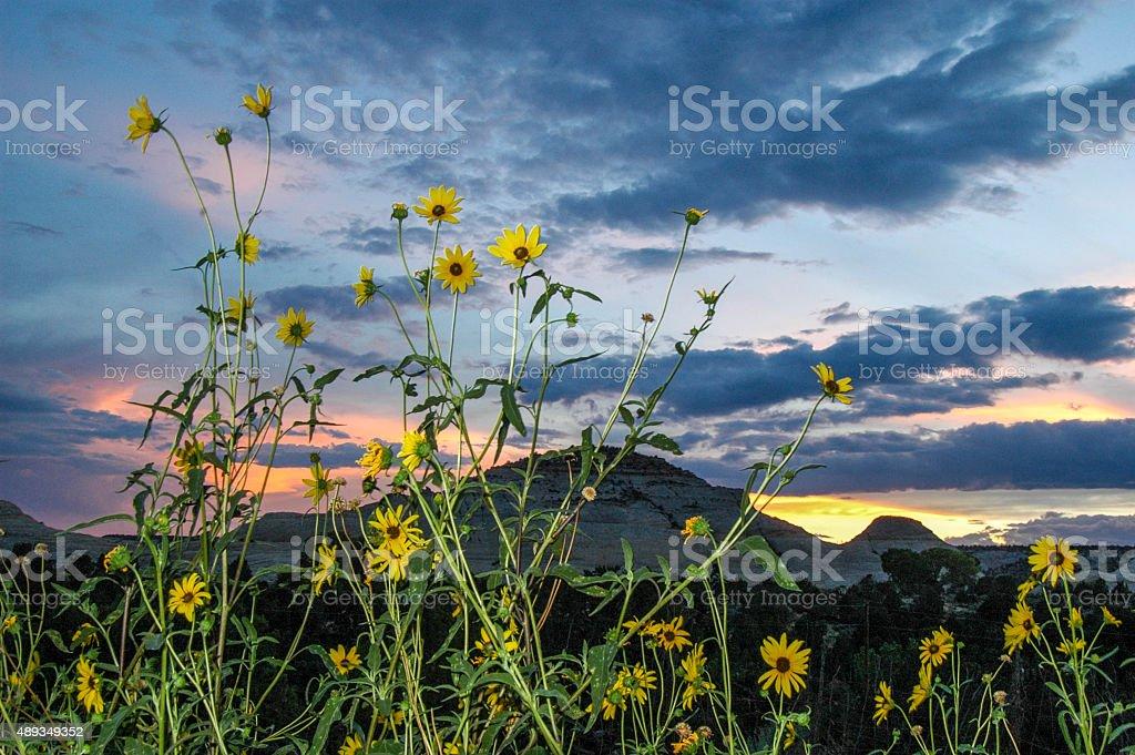 Sunflowers in twilight stock photo