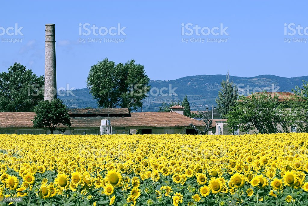 Sunflowers in Umbria at summer near Foligno (Perugia, Italy) royalty-free stock photo