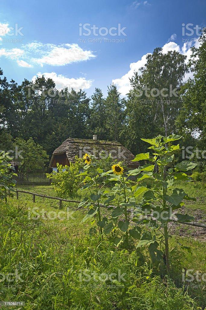Sunflowers in village garden royalty-free stock photo