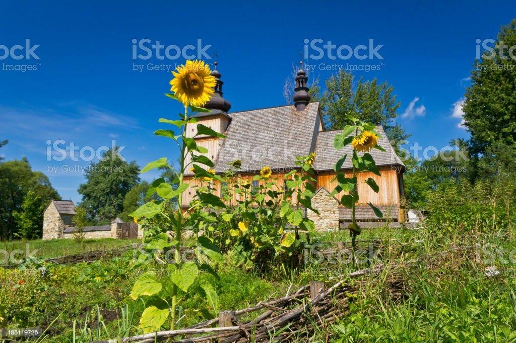 Sunflowers in village garden stock photo