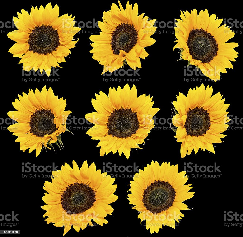 Sunflowers isolated on black royalty-free stock photo