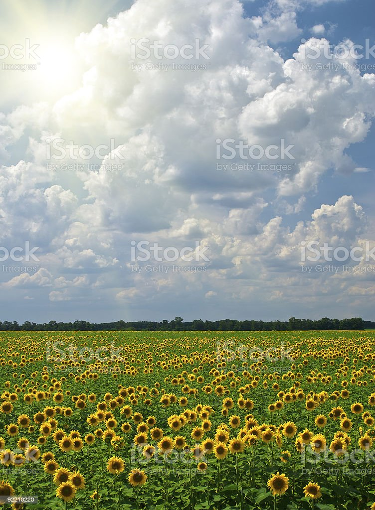 Sunflowers on a background of the cloudy blue sky royalty-free stock photo