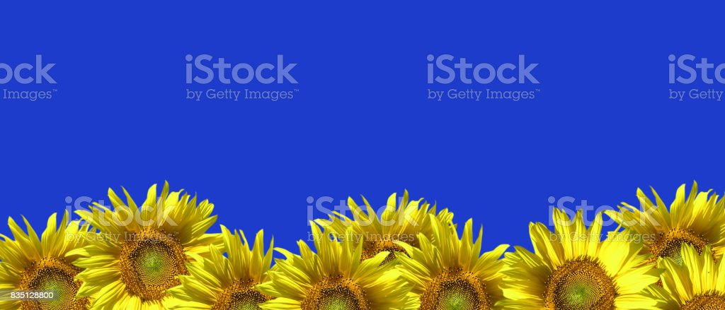 Sunflowers on a blue background. stock photo