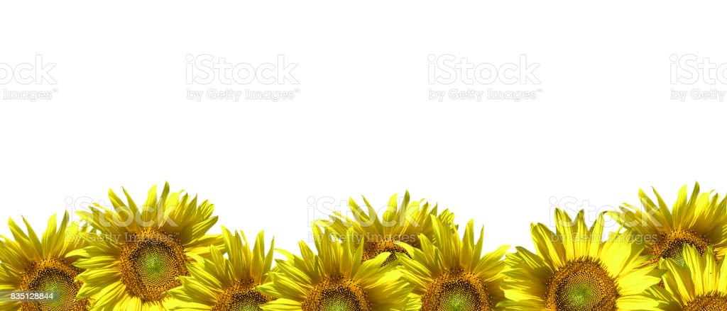 Sunflowers on a white background. stock photo