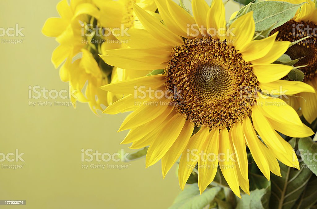 Sunflowers on beige background royalty-free stock photo