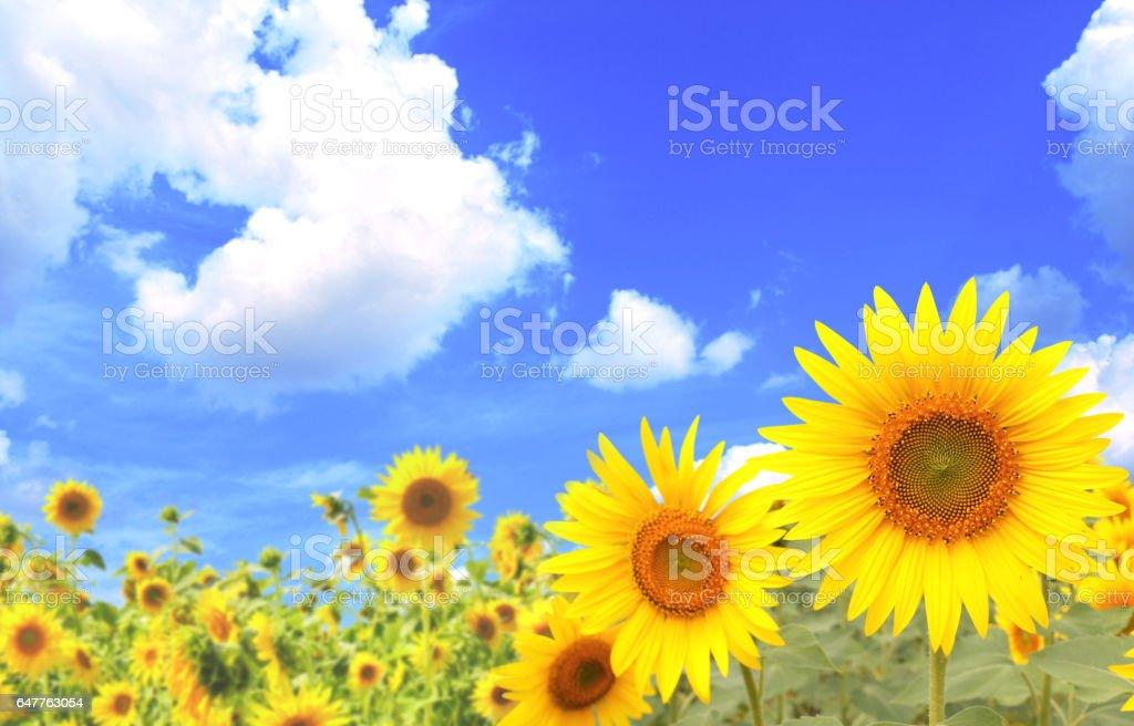 Sunflowers on blue sky background stock photo
