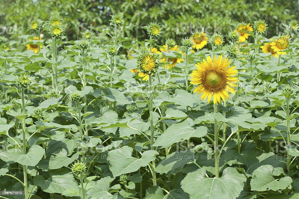 Sunflowers on plant stock photo