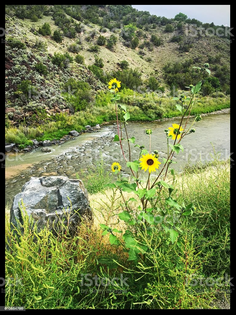 Sunflowers on the Rio Grande stock photo