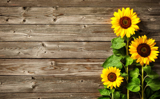 Cute Fall Sunflower Background