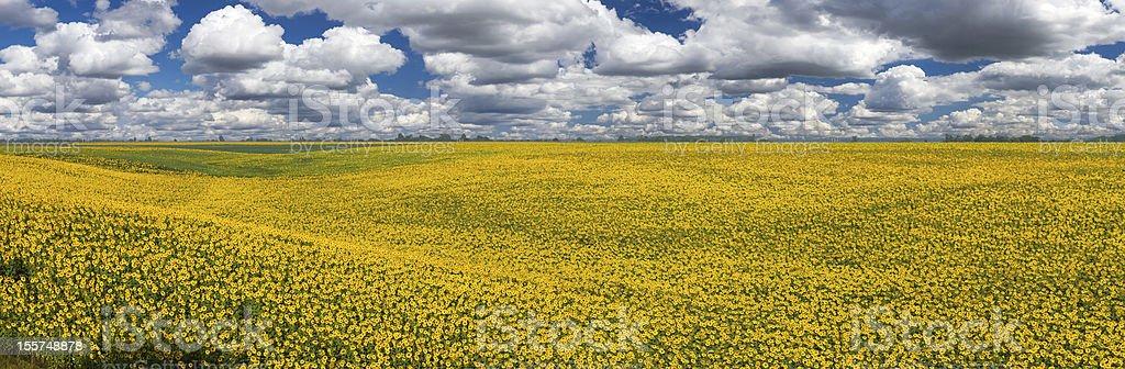 Sunflowers, panorama royalty-free stock photo