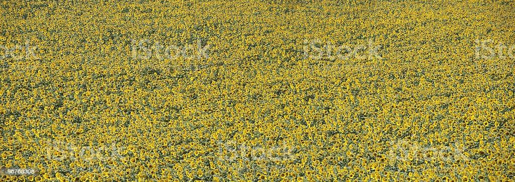 sunflowers panorma stock photo