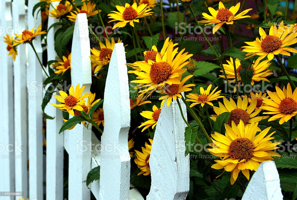 Sunflowers peaking through a white picket fence royalty-free stock photo