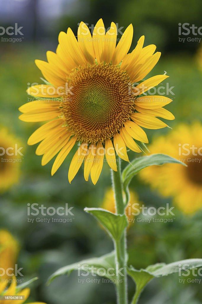 sunflowers royalty-free stock photo
