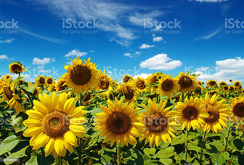sunflower pictures, images and stock photos  istock, Beautiful flower