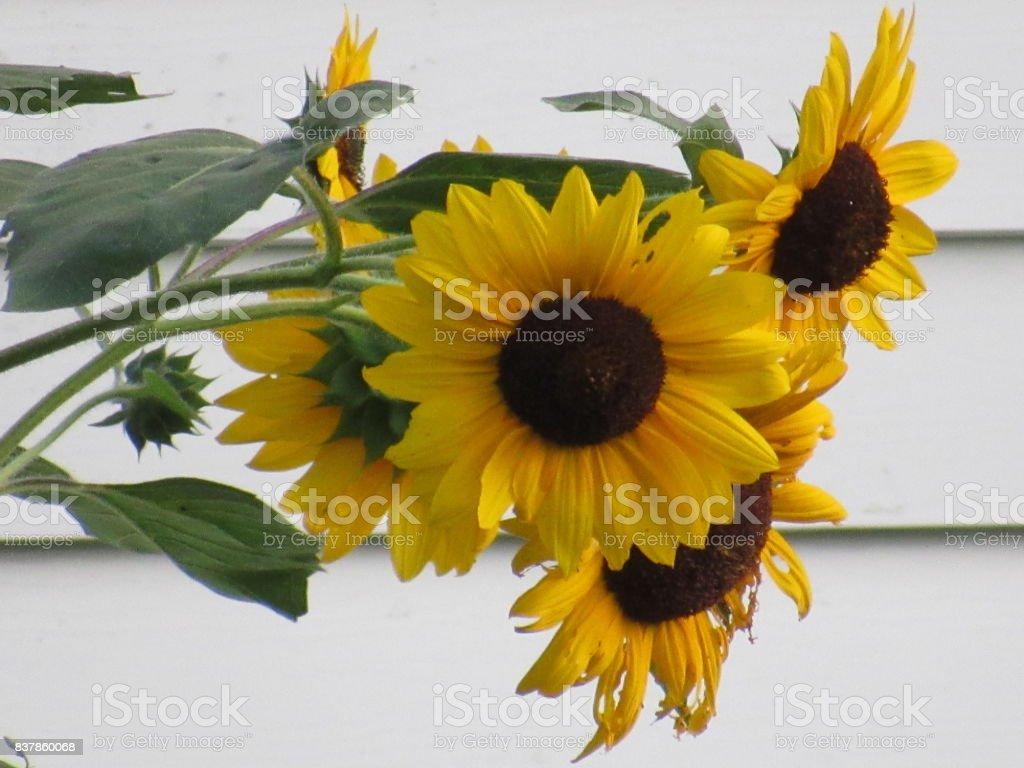 Sunflowers stock photo