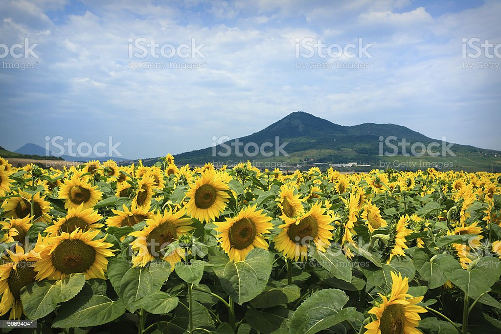 Sunflowers royalty-free stock photo