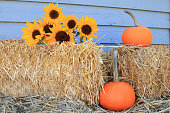 Sunflowers, pumpkins and hay for Thanksgiving
