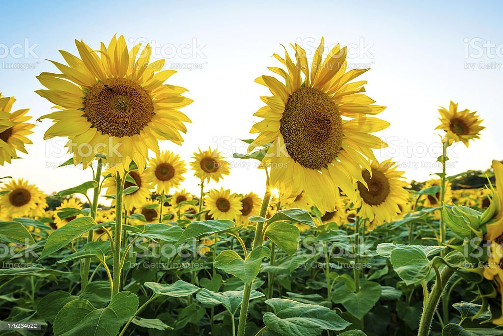Sunflowers with blue sky royalty-free stock photo