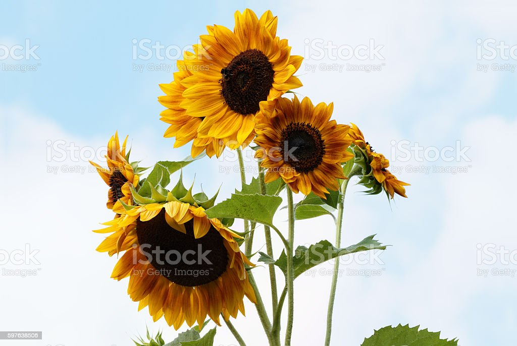 Sunflowers with opened Blossoms - Helianthus annuus – Foto