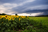 Sunflowers with Thunderstorm
