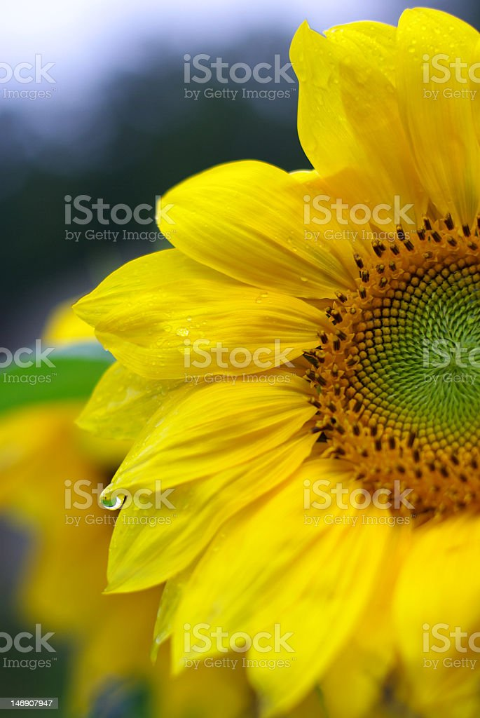 sunflowers with water drops stock photo