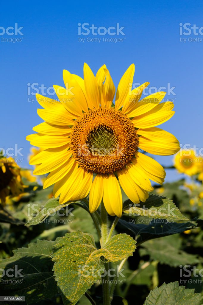 Sunflowers withe green leaves stock photo