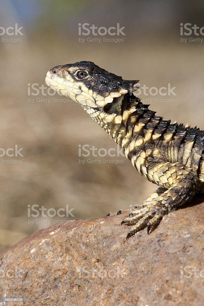Sungazer lizard looking up royalty-free stock photo