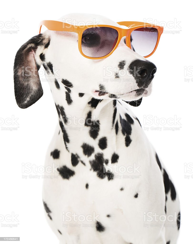 Sunglasses on a Dalmatian royalty-free stock photo