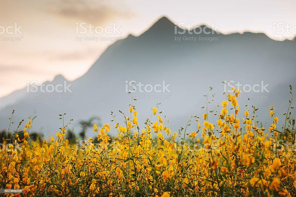 Sunhemp flowe with mountain. stock photo